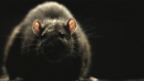 RATS_01